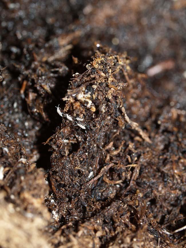 Srpinghaler i potteplanterne kommer under fugtige forhold collombola