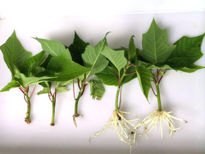 Sørgemyg bradysia ssp sciara ssp