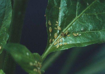 hvad spiser bladlus