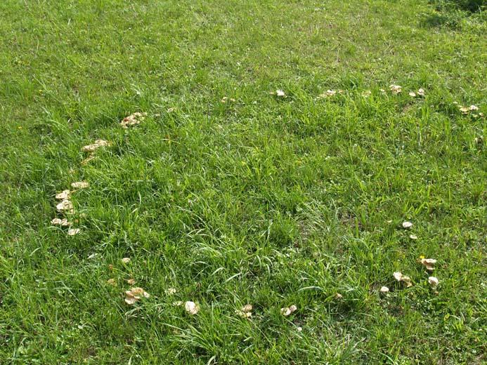 hekseringe i græsplæne
